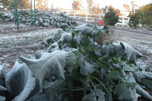 Broccoli covered by the New Year's frost