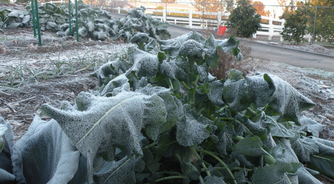 frost on broccoli
