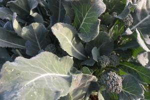 Broccoli side shoots galore