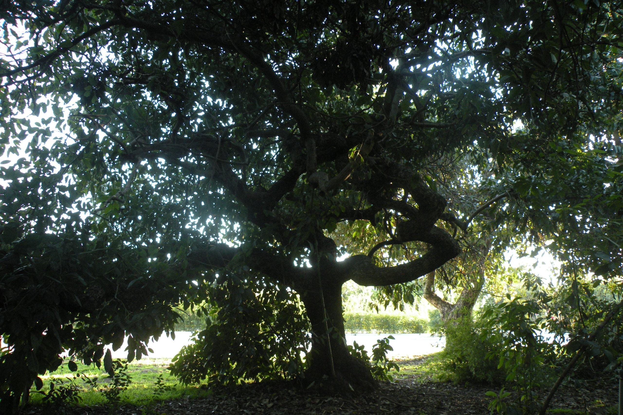Huntington avocado tree