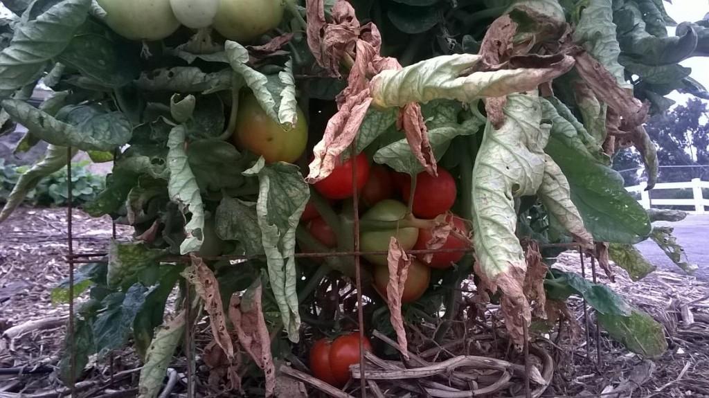 San Diego variety tomato