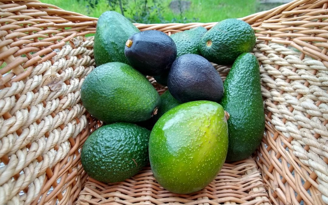 Heat tolerance of avocado varieties