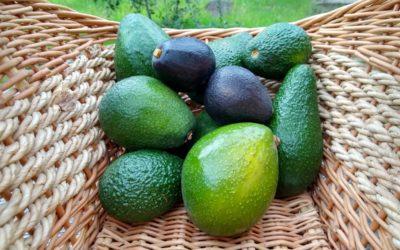 Heat tolerance of avocado varieties