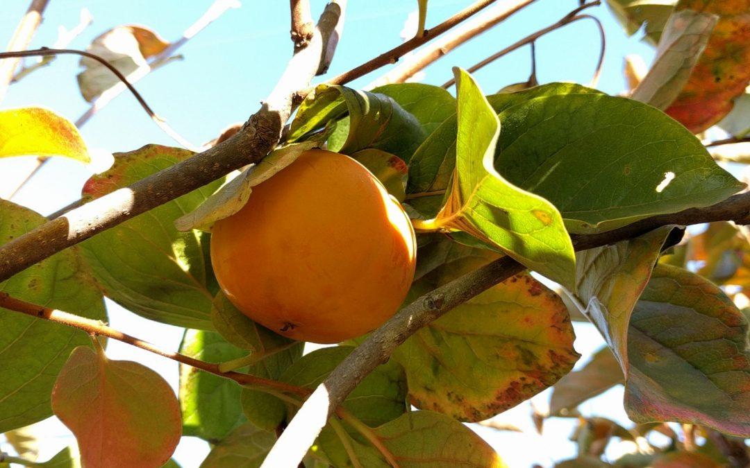 Shoemaker Farm u-pick persimmons, Ramona