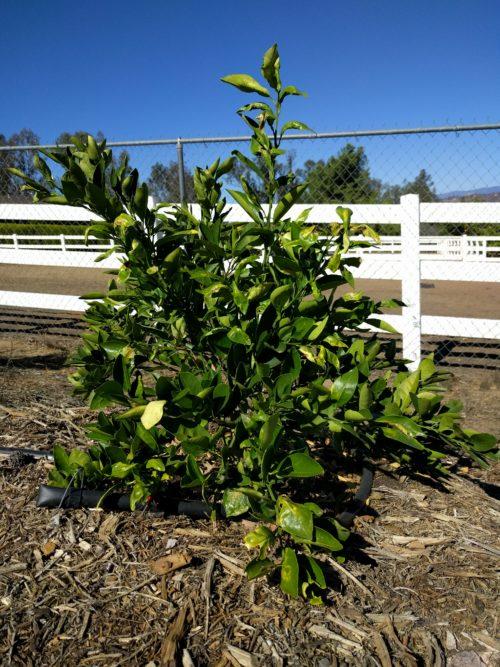 Beware of rootstock suckers on citrus