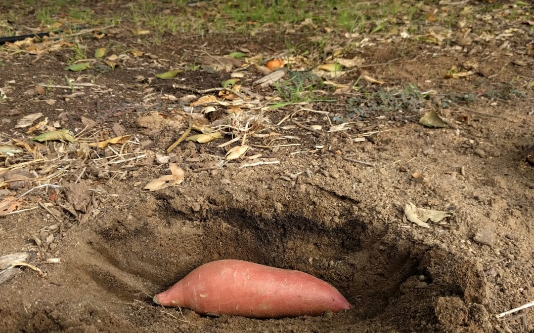 How I grow sweet potatoes