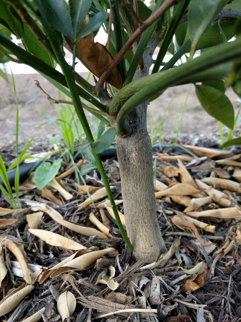 citrus rootstock sucker