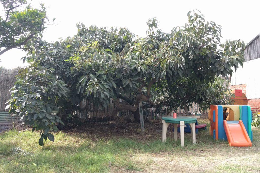 Japanese Fuerte avocado tree