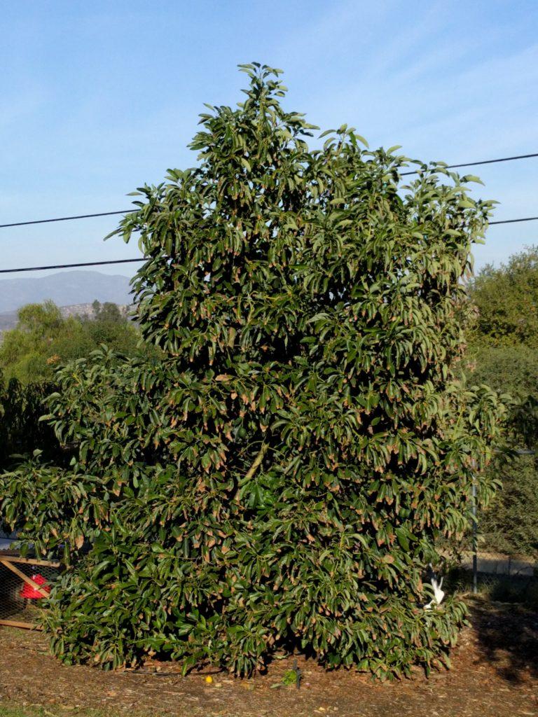 small Hass avocado tree