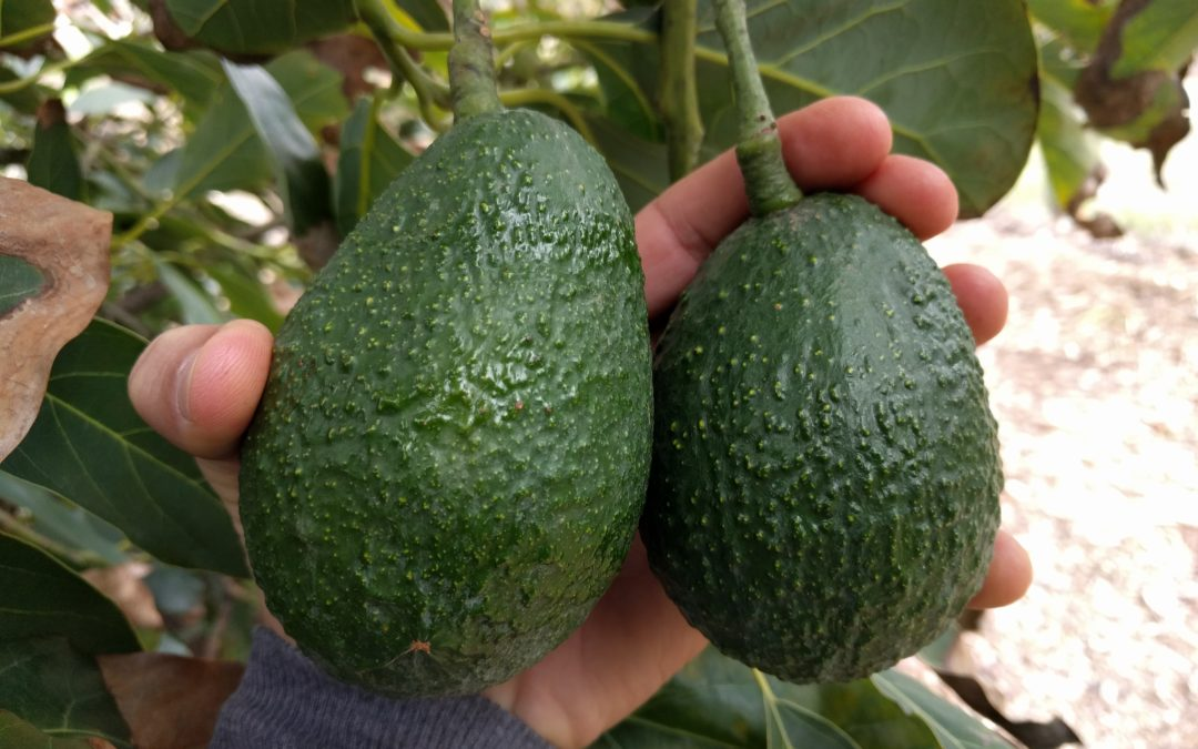 When to pick avocados