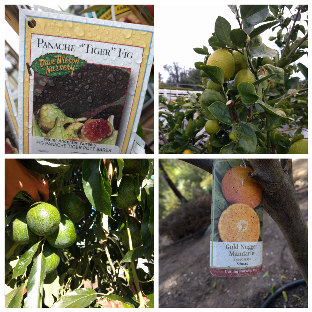 What Kind Of Fruit Tree Should You Plant Greg Alder S Yard Posts Food Gardening In Southern California