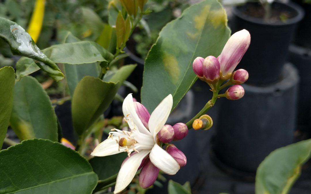 Orange blossom or lemon blossom?