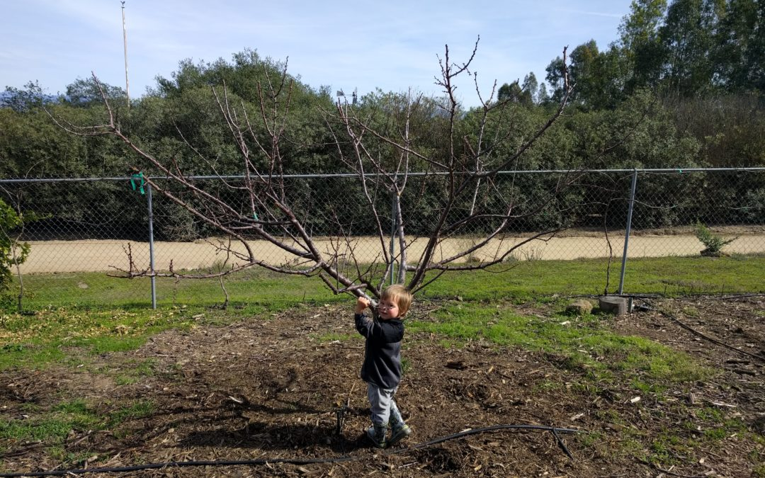 My best advice on pruning deciduous fruit trees: keep them small