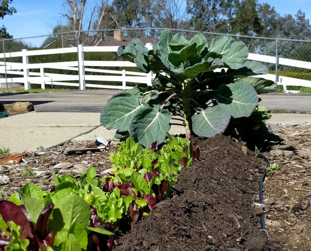 compost on vegetable beds