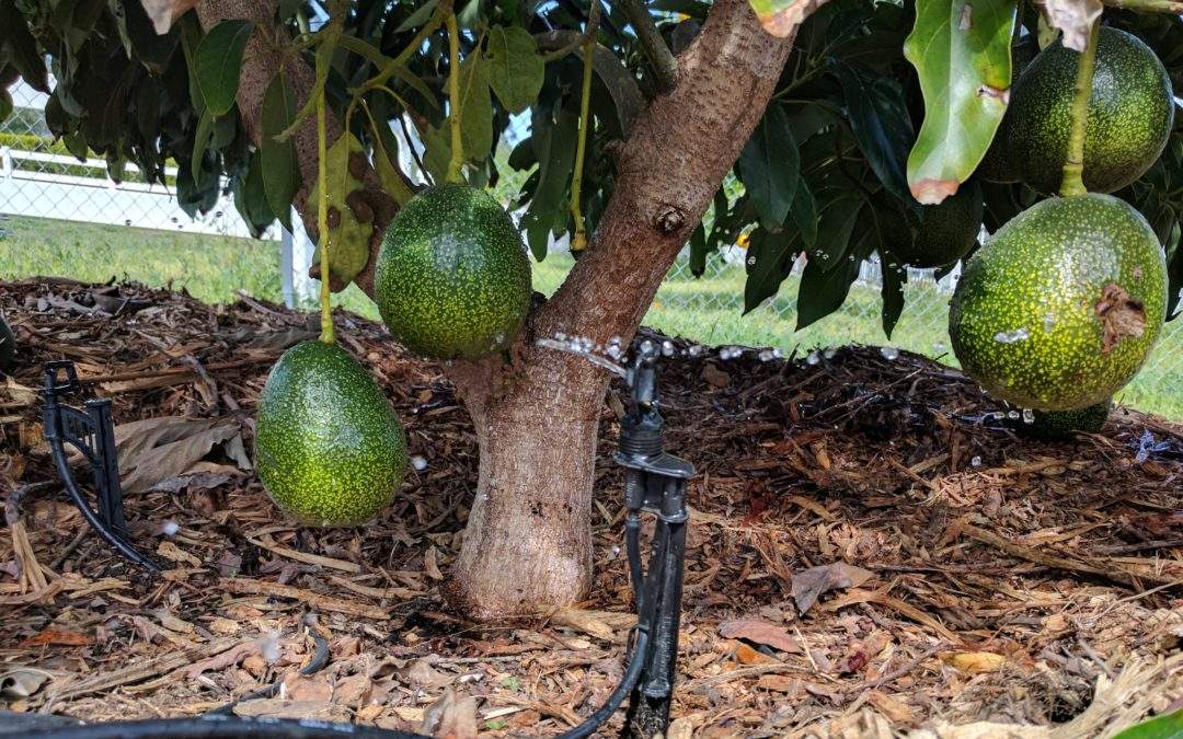 Do avocado trees need a lot of water?