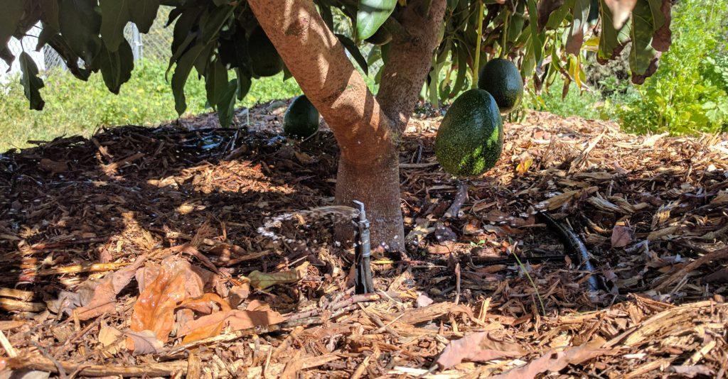 mini-sprinkler under avocado tree
