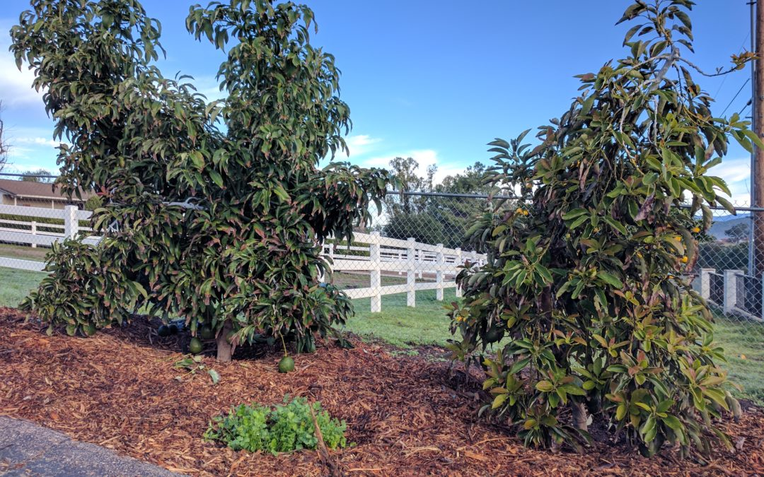 Pictures Of Hass Avocado Trees