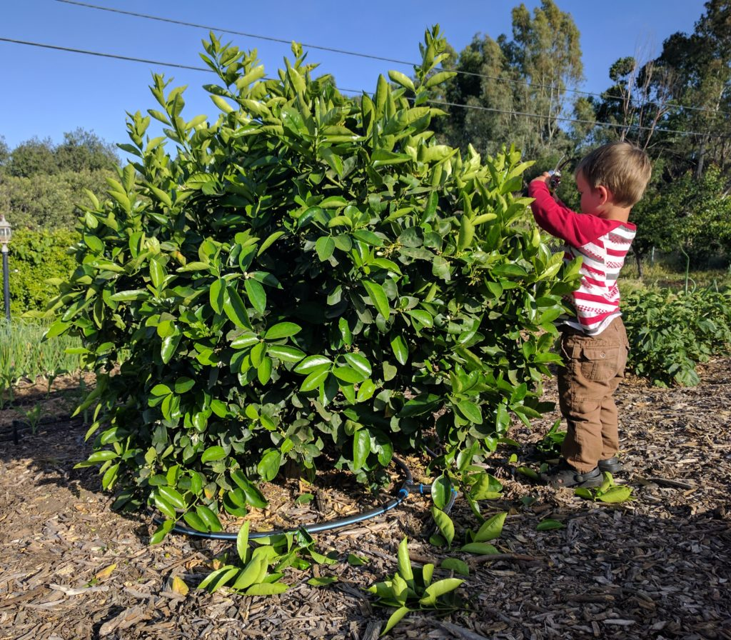 pruning a citrus tree to keep it small