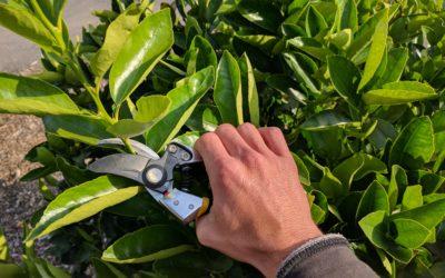 When should you prune citrus trees