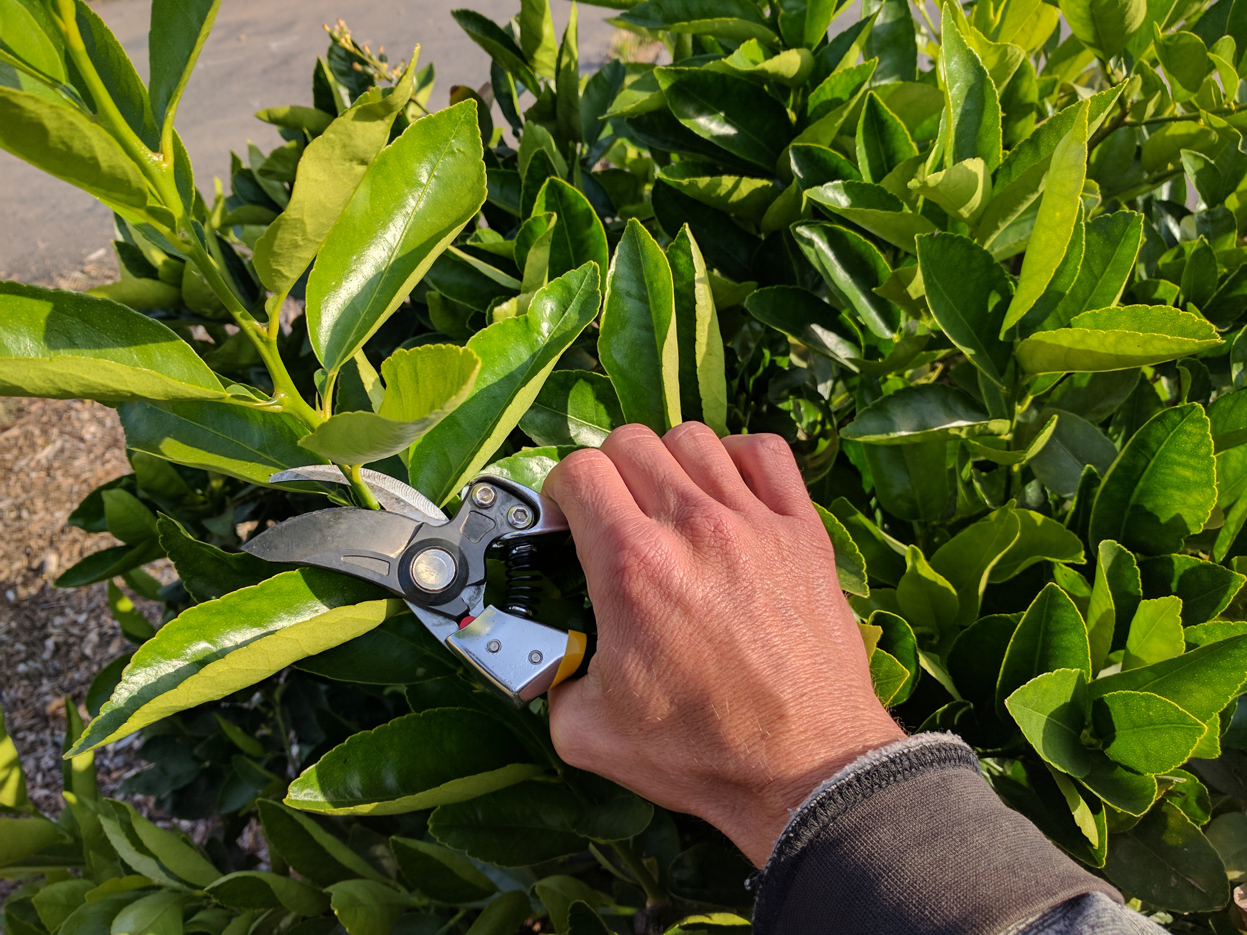 When And How To Prune Citrus Trees Greg Alder S Yard Posts Food