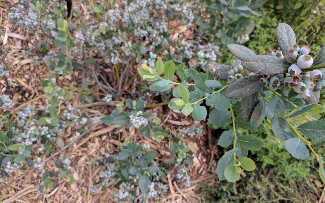 Sunshine Blue blueberry plant close up