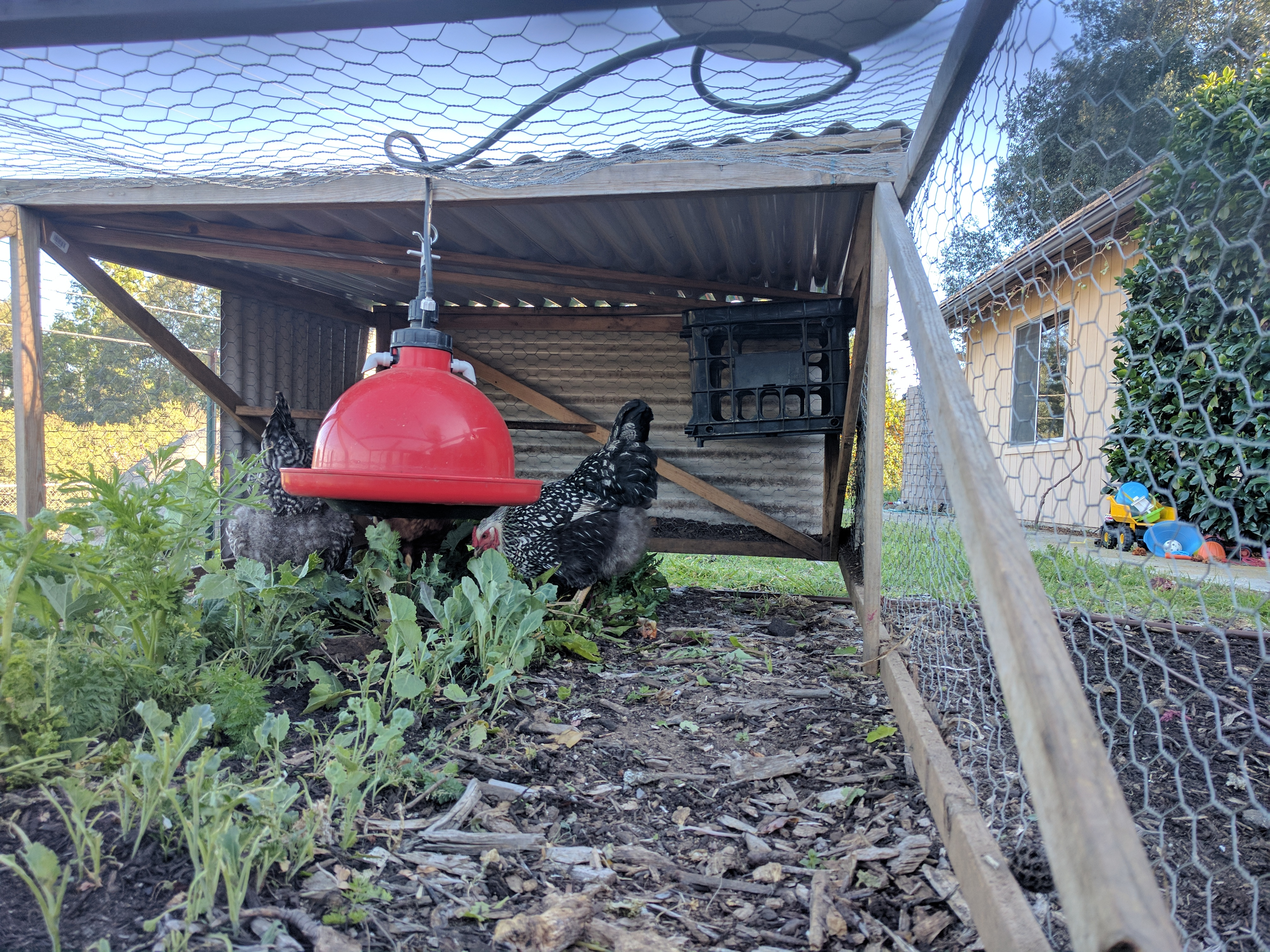 chickens archives greg alder u0027s yard posts