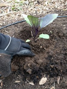transplanting a vegetable seedling step 4