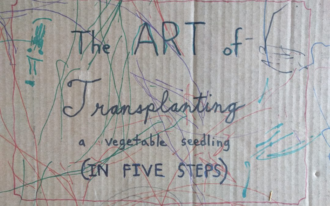 The art of transplanting a vegetable seedling (in five steps)
