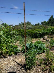 Champion seedling tomato staked