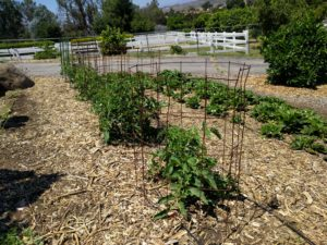 San Diego tomato plant short cage