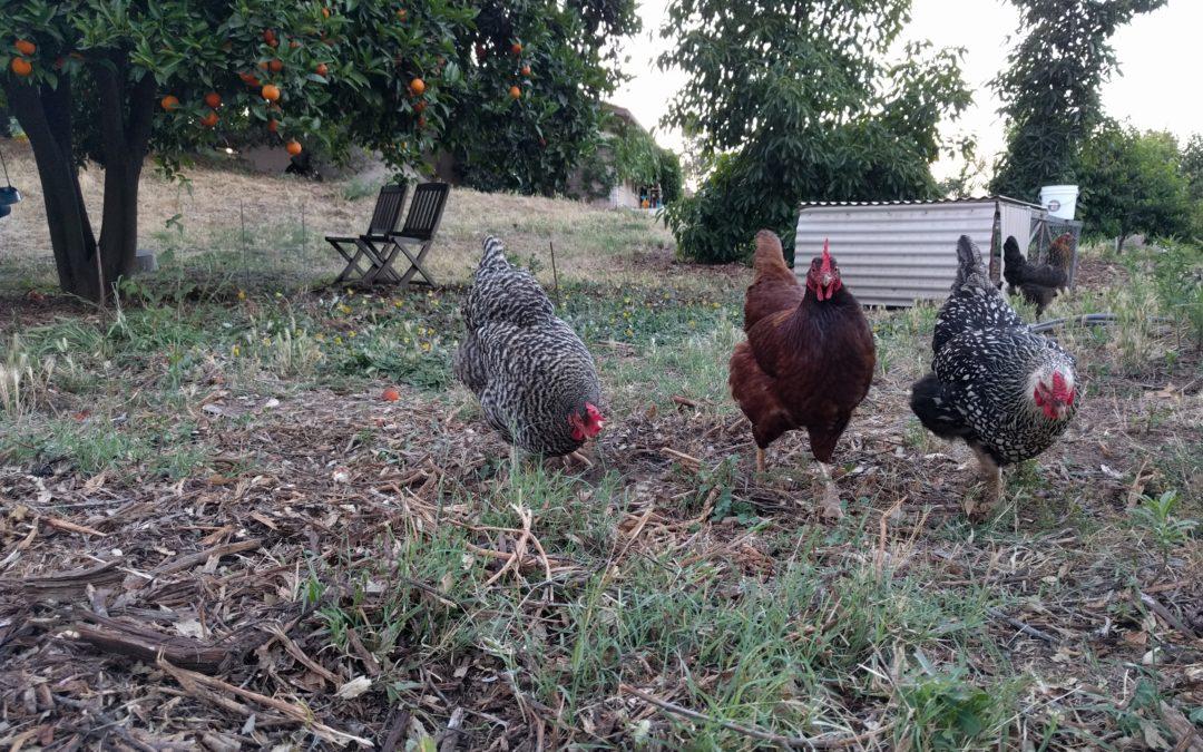 chickens help in the garden