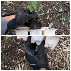 transplanting a vegetable seedling step 1