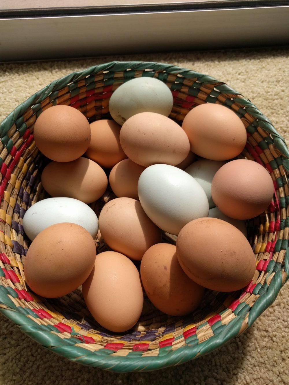 backyard chicken eggs greg alder u0027s yard posts