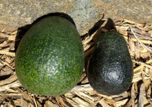 Reed and Lamb Hass avocados size comparison