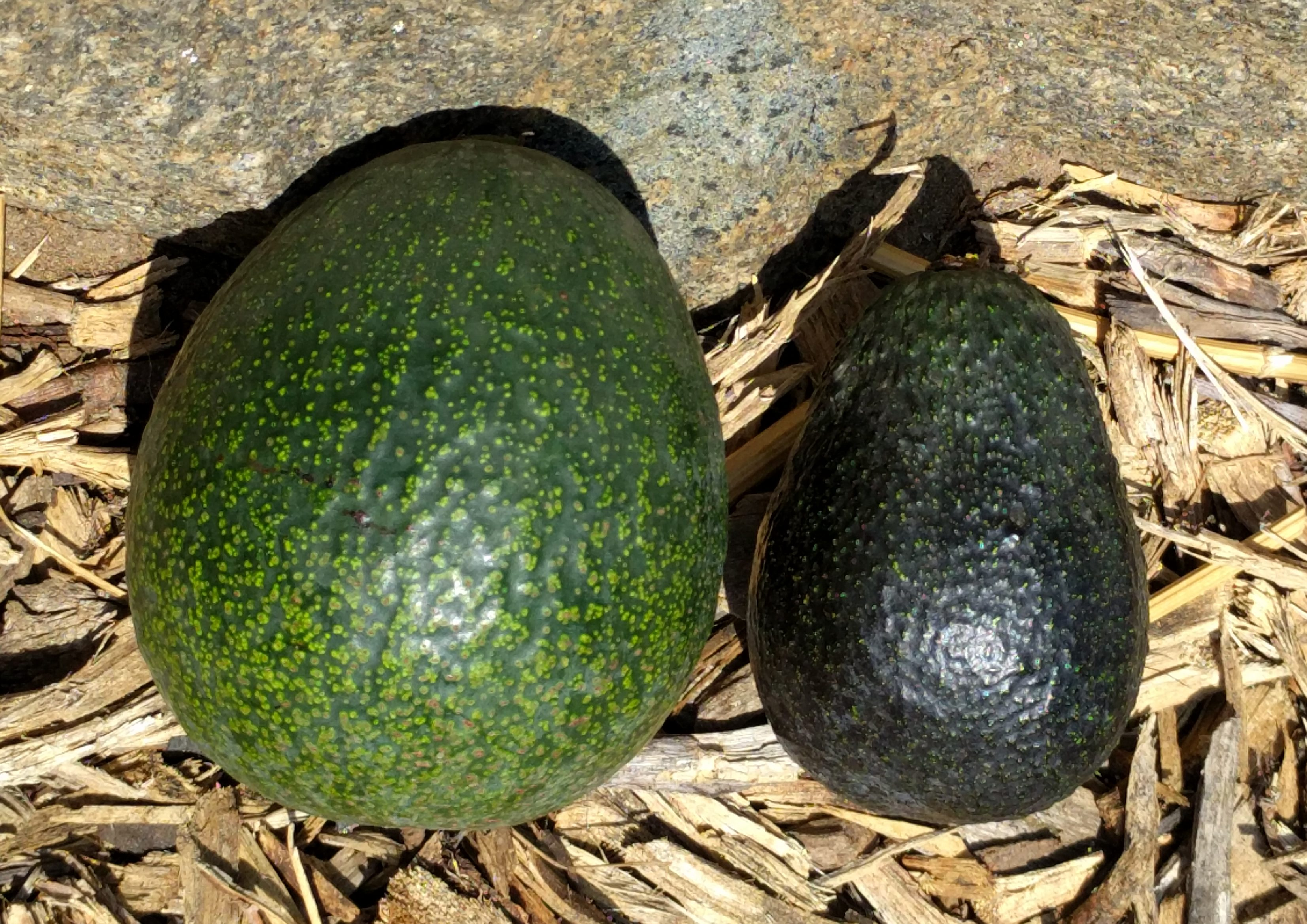 Growing Avocados In Southern California Greg Alders Yard Posts Avocadoseeddiagram1 Reed And Lamb Hass Size Comparison