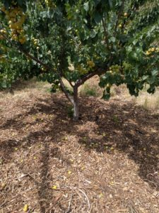 apricot tree with mulch