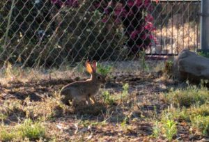 rabbit eating in yard
