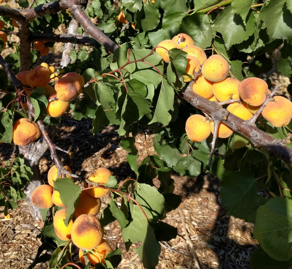 sunburned apricots