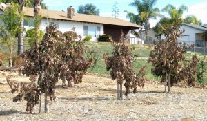 Cold damaged avocado trees (young)