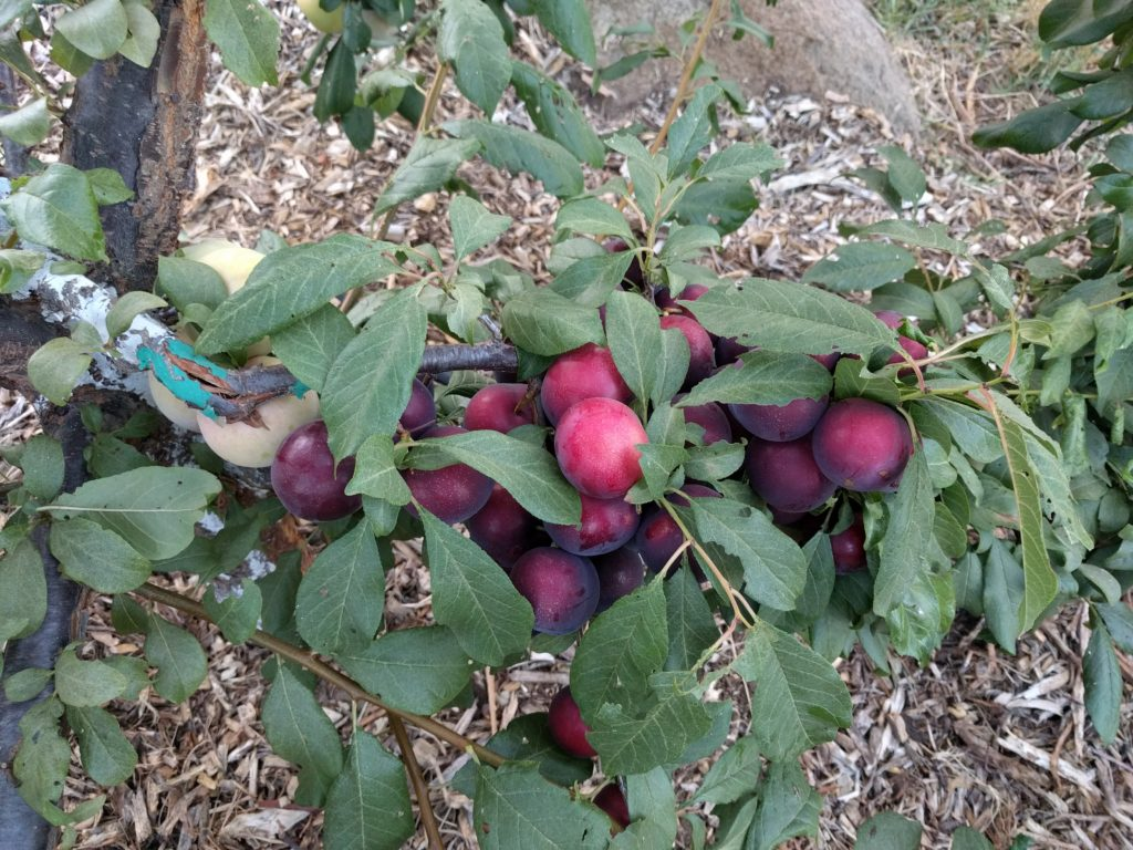 Burgundy plum fruit needing thinning