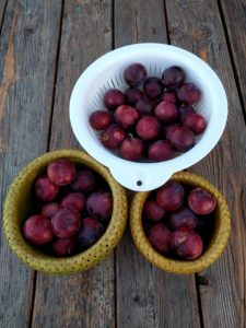 Burgundy plum is prolific