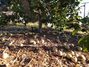 thinned Dapple Dandy pluot fruit