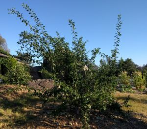Dapple Dandy pluot tree