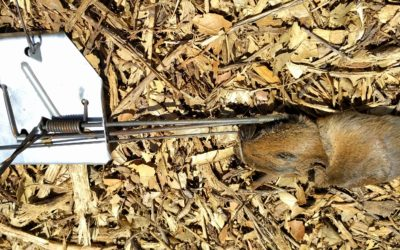 The best gopher trap: it's a Cinch