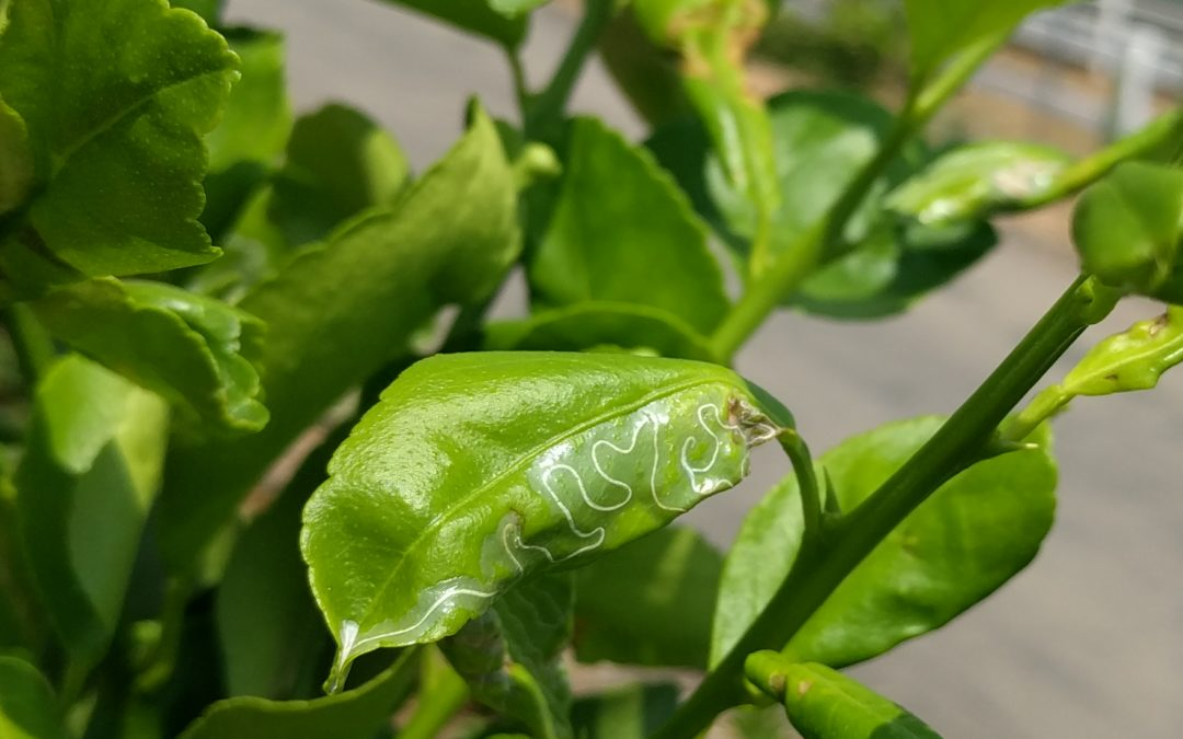 Don't spray for citrus leafminers