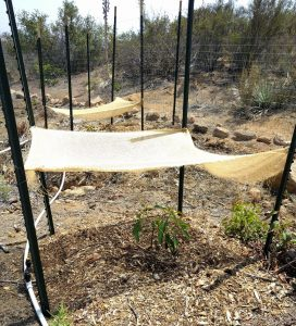 Shade structure for newly planted avocado tree