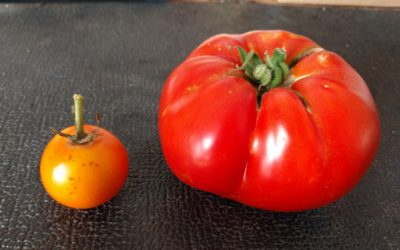 Which is the heirloom tomato?