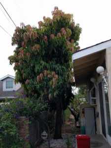 seedling mango tree Glendora California