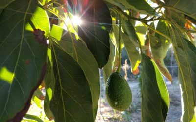 Growing avocados in Southern California