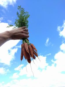 carrots grown by cutting off water soon after germination